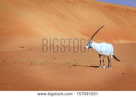 Oryx or Arabian antelope in the Desert Conservation Reserve near Dubai, UAE