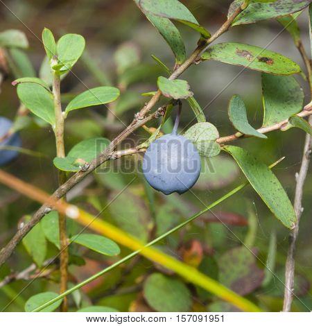 Ripe bog bilberry Vaccinium uliginosum on a bush macro selective focus shallow DOF