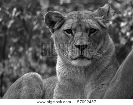 Lioness, a beautiful lioness head lioness lioness lying.
