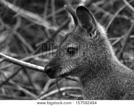 Kangaroo, beautiful kangaroo, marsupial, black and white marsupial. Head kangaroo.