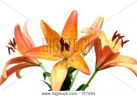 Lily Over White