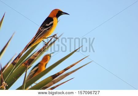 Streak-backed Oriole perches on pointy tropical plant with clear blue skies. Tropical bird in natural habitat with copy space.