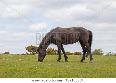 New forest wild pony grazing on heathland