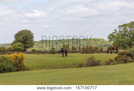 Two wild New Forest ponies grazing on heathland