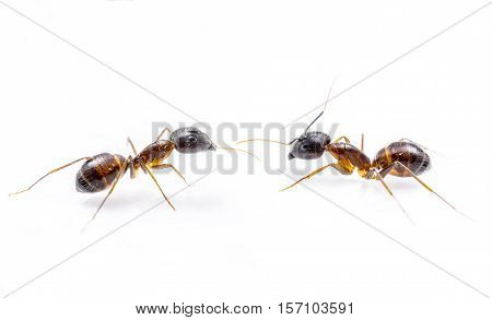 close up two ant on white background