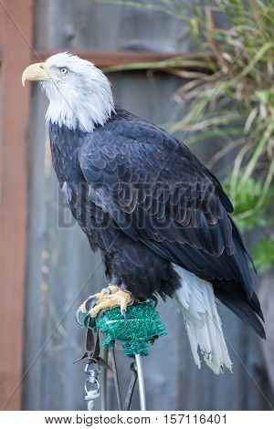 American Bald Eagle - Haliaeetus leucocephalus, side view
