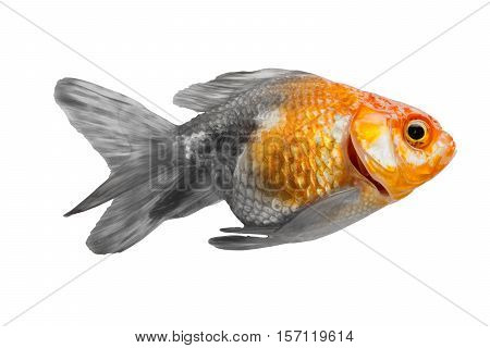 concept goldfish two color black and gold isolated on white background. File contains a clipping path.