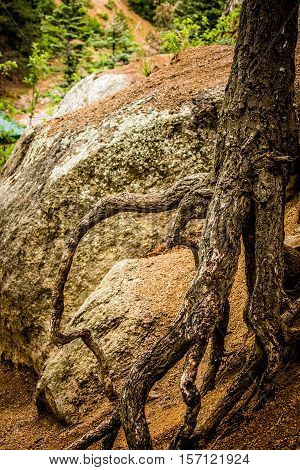 Weathered and gnarled tree roots wrap around large rocks on a hiking trail in Colorado