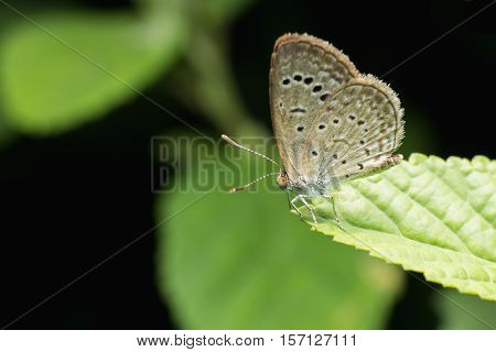 Close Up Of Small Butterfly (tiny Grass Blue) Perched On Leaf.