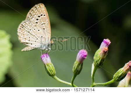 Close Up Of Small Butterfly (tiny Grass Blue) Perched On Tiny Grass Flower Natural.