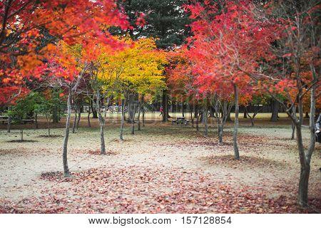 Colorful leaves in the autumn park. Autumn season outside Nami island South Korea
