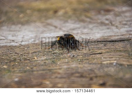 Bumble bee sitting on a wooden backgriond closup