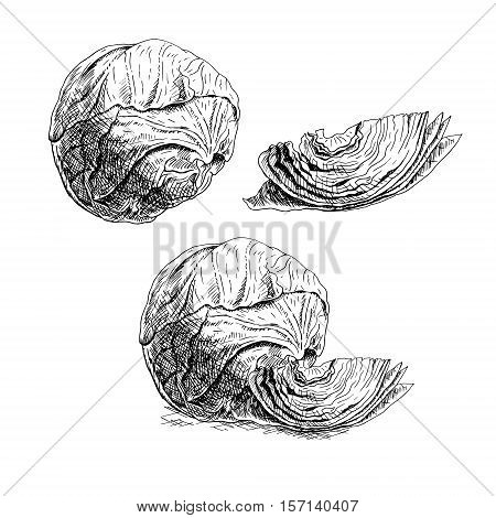 Hand drawn set of cabbage. Retro sketches isolated. Vintage collection. Linear graphic design. Black and white image of vegetables. Vector illustration.