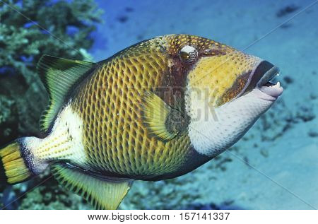 Trigger Fish  at the bottom of the ocean