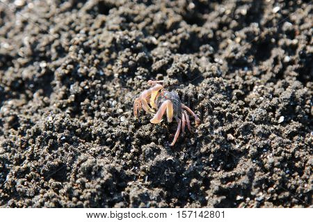 Small red crabs on beach close up