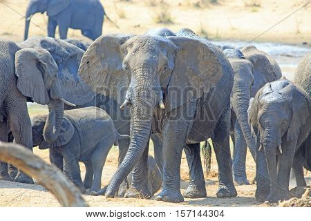 Large Elephant with ears flapping looking directly at camera, surrounded by it's herd in  Hwange National Park, Zimbabwe, Southern Africa
