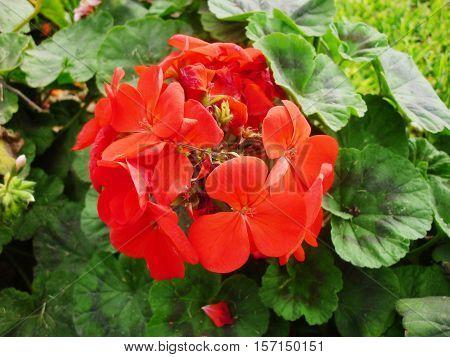 Hermosas flores rojas en su forma natural