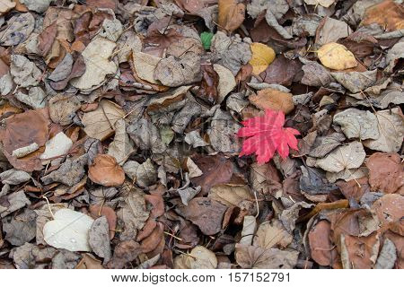 Fallen leaves including one red Acer leaf during autumn.
