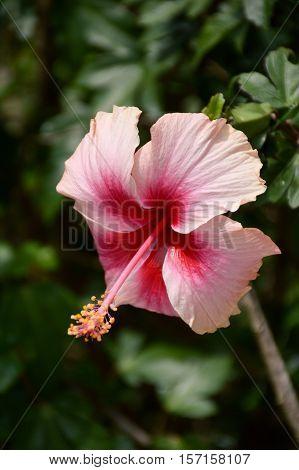 pink hibiscus rosa-sinensis flower in nature garden