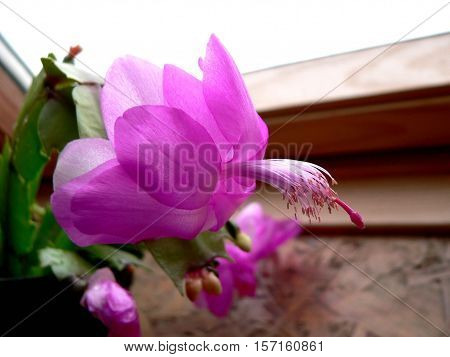 violet Christmas cactus from close  in sunroof