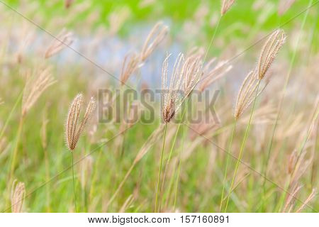 Blurred photo of swaying finger grass in the morning.