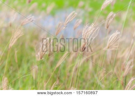 Abstract blurred photo of beautiful swollen finger grass swaying in the wind.