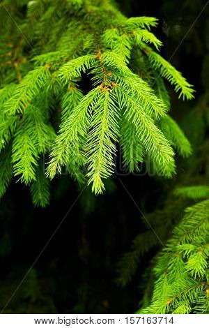 Fir Green branch daylight, background, nature, tree