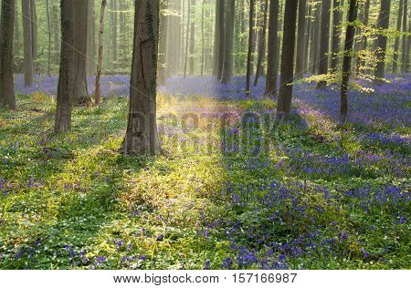 spring forest with flowering bluebells at sunrise