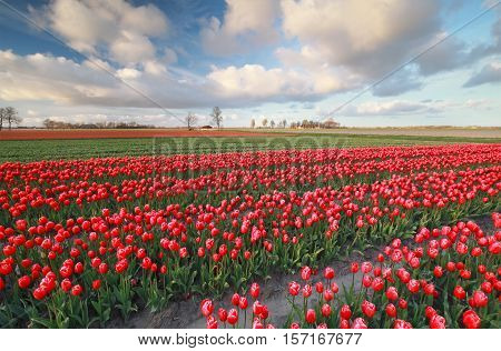 red tulip field in spring  North Holland Netherlands