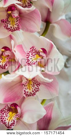 Close-up of white orchids flowers. The branch of orchid close-up. Orchid flowers speckled. Decorative flower.