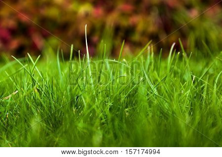 background a green grass on a lawn close up