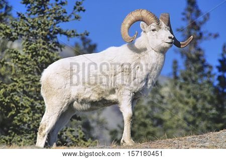 Mountain Goat near forest
