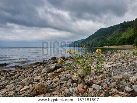 Single flowering tansy on stone shore of Lake Baikal. July. Irkutsk region. Eastern Siberia. Russia