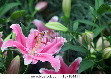 Close up of a single pink lily flower in full bloom