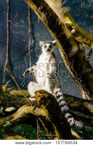 looks out with big bright range eyes and watches from a branch in a zoo. This is a large and endangered (near threatened) lemur species.