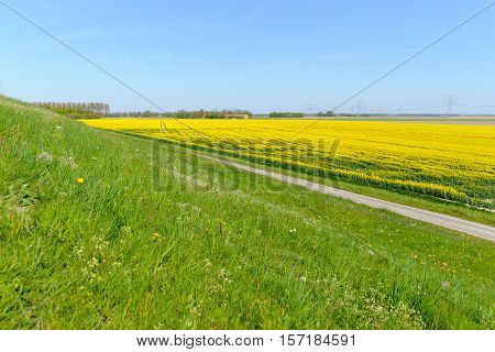 Field with yellow flowering canola on a sunny day in the spring season.