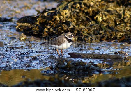 A Ringed Plover on a mud flat at low tide