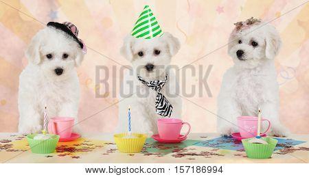 Three Bichon Frise puppies celebrate their birthday indoors