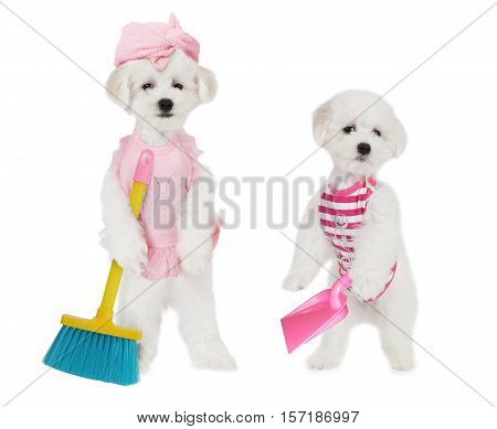 Humorous photo of Bichon Frise puppies with brush and dustpan isolated on white background