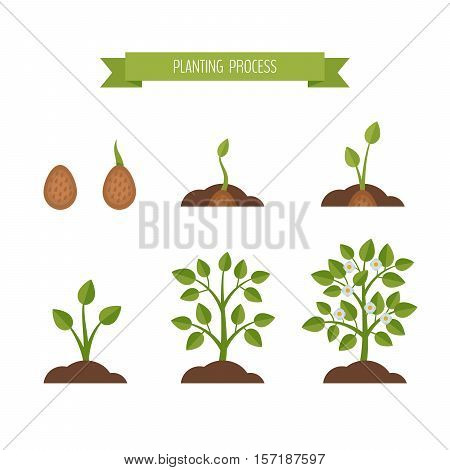 Phases plant growth. Sprout in the ground. Flat style vector illustration.