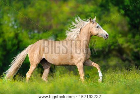 Palomino horse with long blond mane run on pasture poster