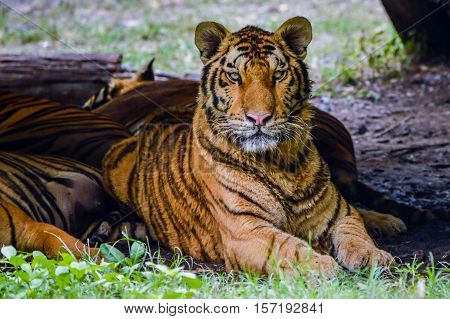 Bengal Tiger since the tiger is the second largest of all the tiger. After the Siberian tiger found in the Siberia. Russia