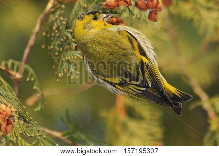 beautiful forest bird sits on a fir, forest birds, birds in forest birds on fir, winter, snow, Eurasian siskin