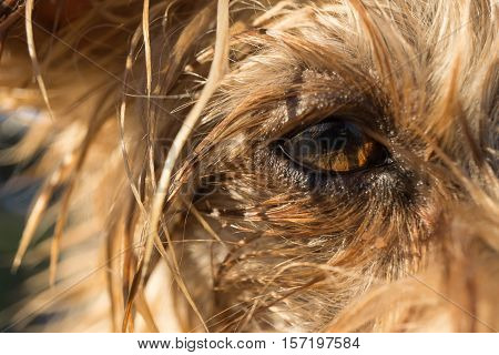 dog's eye macro detail, Yorkshire Terrier brown dog close-up With wet hair