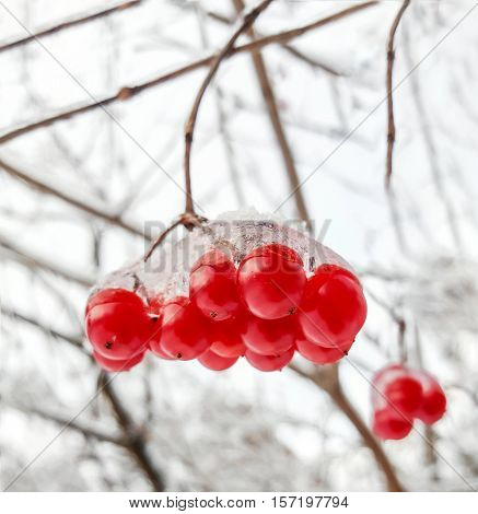 Viburnum branch with red berries in snow. Nature