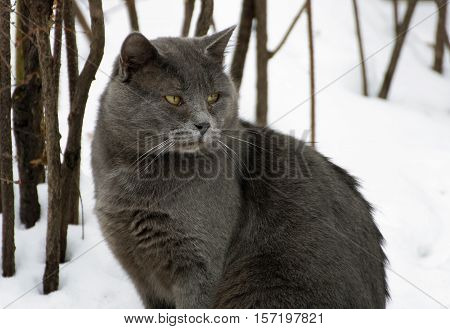 Winter. A ruffled big fat grey cat sitting in the snow. Cat looking to the side.