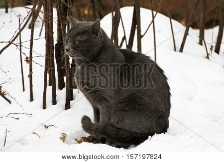 Winter. A ruffled big fat grey cat sitting in the snow. The cat pursed his paws and tail and closed his eyes.