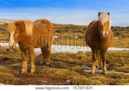 Icelandic horses on dry grass, Iceland natural background
