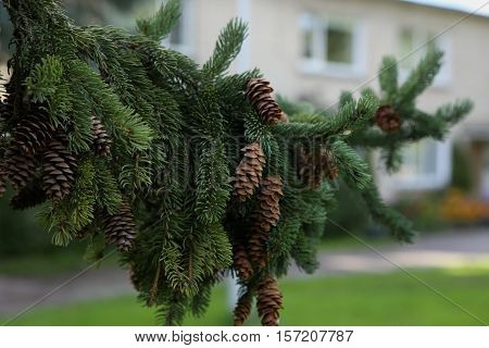 Spruce tree branch with cones. Picea abies in summer time.