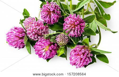 Bouquet of clover flowers with green leaves isolated on white background